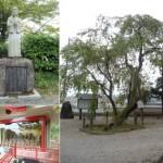 石内蔵助が植えた桜